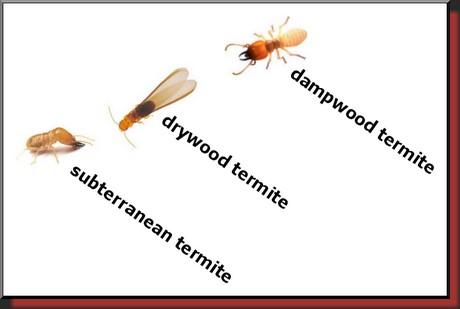 termite types