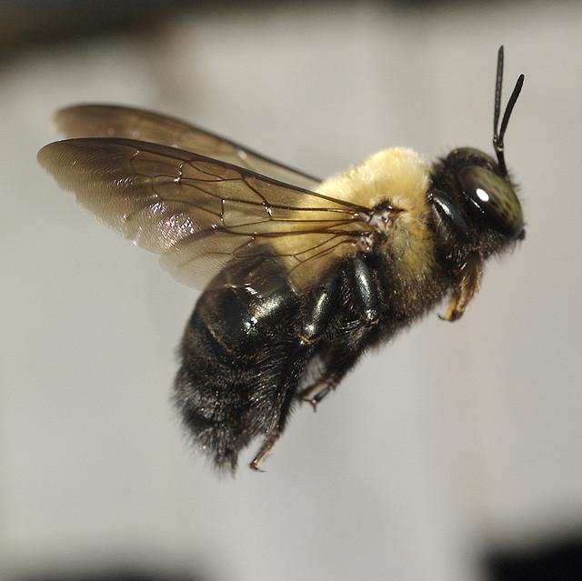 eastern-carpenter-bee