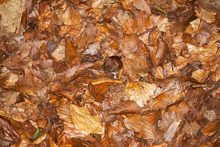 mouse-in-leaves