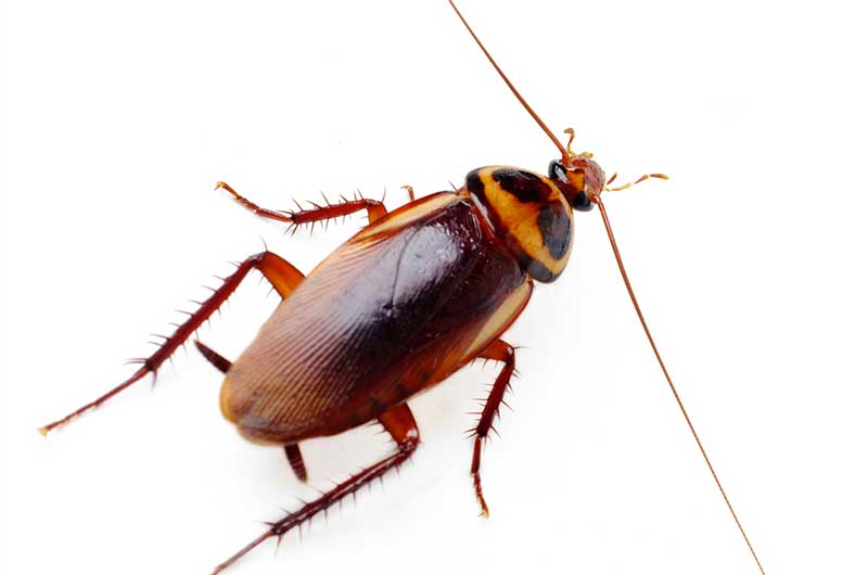Brown-Banded-Cockroach