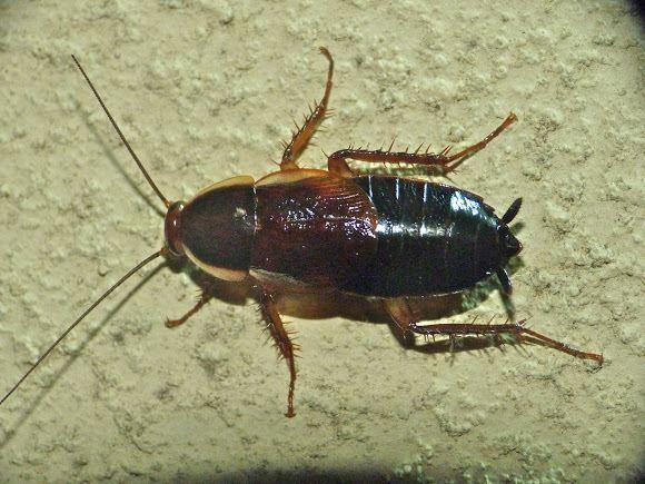 pennsylvania-wood-cockroach