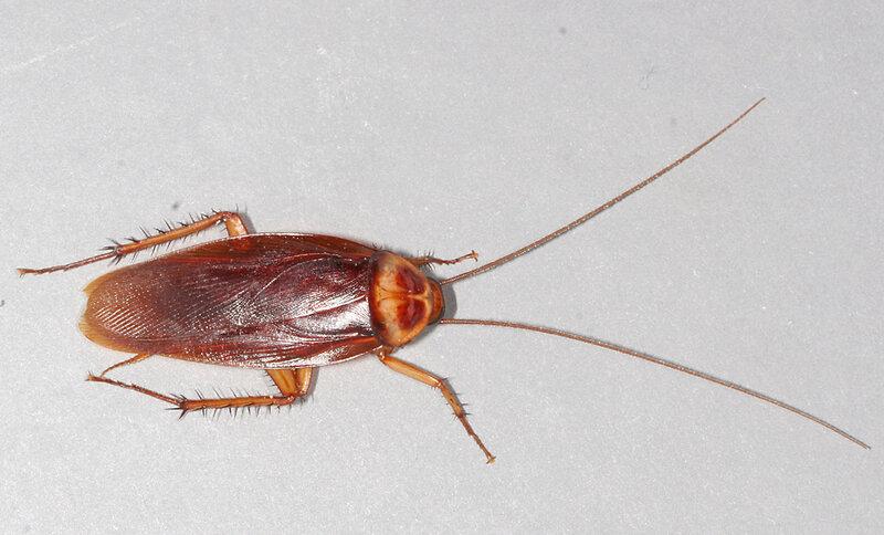 rsz_1american-cockroach